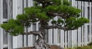 Cara Merawat Bonsai Pinus, Jenis Bonsai Termahal