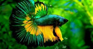 Cara Merawat Ikan Cupang agar Muncul Warna Cantik