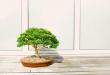 Cara Repotting Bonsai, Proses 'Pindah Rumah' Bonsai
