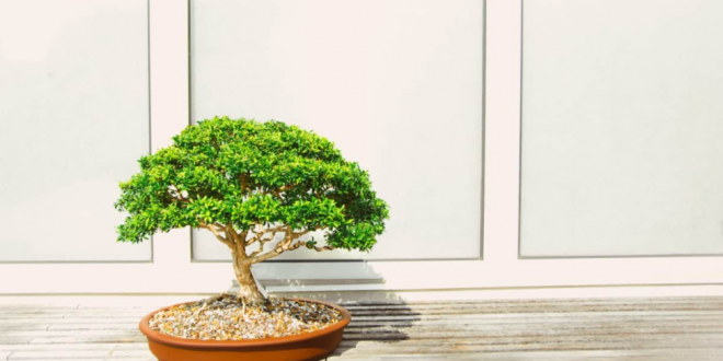 Cara Repotting Bonsai, Proses 'Pindah Rumah' Bonsai