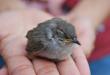 Cara Mudah Mengetahui Burung Peliharaan Sakit