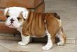Tips Mengadopsi Anjing Bulldog