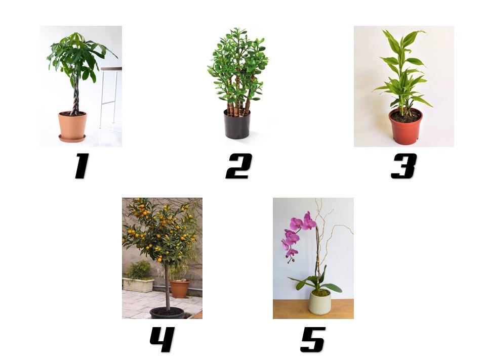 tanaman hias imlek