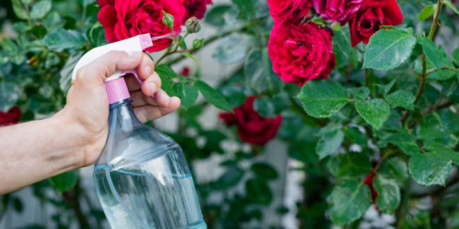 Penyakit Pada Bunga Mawar & Cara Penanggulangan