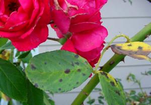 black spot pada mawar