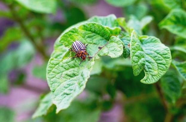 hama kumbang daun