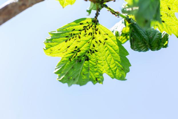 hama kutu daun